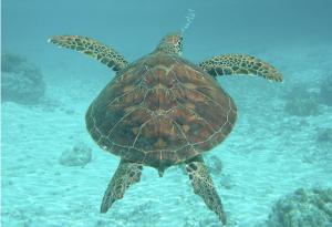 Les tortues de Bora Bora
